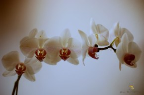orquídea/belo horizonte/mg/brasil/2014/semterritorio