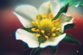 flor de morango/ curitiba/ pr/ brasil/ 2013/ semterritorio